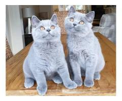 british shorthair cats for sale