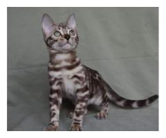 British shorthair price