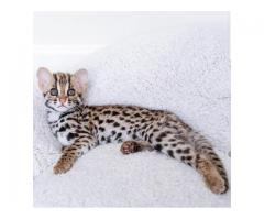 Adorable Classy and Exotic Bengal Kittens for Sale