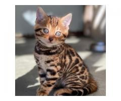 Discover our Exotic Bengal Cats for Sale