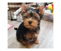 yokie puppies avialable for sell