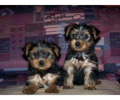 purebred Yorkie teacup puppies for sale