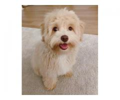 Havanese Puppies needing forever homes
