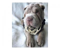 Sharpei Puppy For A New Home