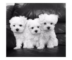 "Beautiful White Maltese puppies.""(pets)"