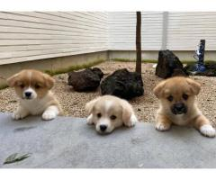 Beautiful Pembroke welsh corgi puppies available for adoption