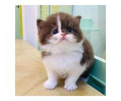 Homeland munchkins cats and kittens for sale